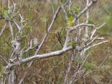 Tennesseeskogssångare - Tennessee Warbler (Oreothlypis peregrina)