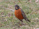 Trastfåglar / Thrushes