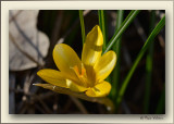 crocus in the first sunshine since weeks