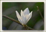 magnolia - tulpenboom