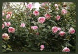 Roses in spring - Violina from afar