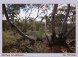 Mallee bushland