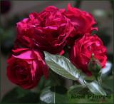 Red Pierre