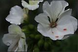 White zonal pelargonium