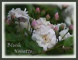 Blush Noisette
