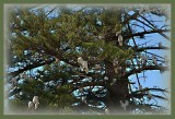 Corella swarm, closer
