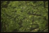Misty elm tree
