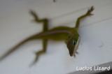Lucius Lizard-145.jpg