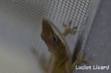 Lucius Lizard-148.jpg