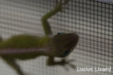 Lucius Lizard-158.jpg