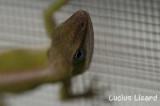 Lucius Lizard-166.jpg