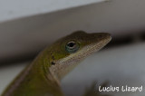 Lucius Lizard-23.jpg