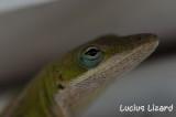 Lucius Lizard-38.jpg