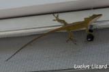 Lucius Lizard-4.jpg