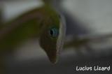 Lucius Lizard-68.jpg