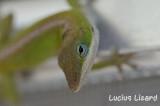 Lucius Lizard-72.jpg