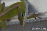 Lucius Lizard-76.jpg