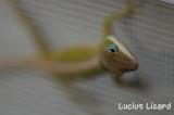Lucius Lizard-183.jpg