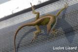 Lucius Lizard-213.jpg