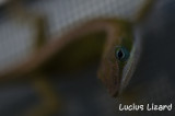 Lucius Lizard-228.jpg