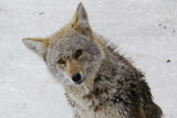 Coyote stuck on the ice - Collingwood Side Launch Basin April 7, 2013
