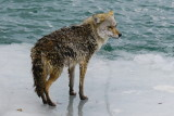 Coyote on the ice - how to get off? Collingwood Side Launch Basin:April 7, 2013