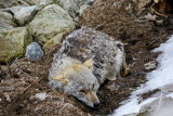 Coyote, finally, resting after the ordeal - Collingwood Side Launch Basin: April 7, 2013