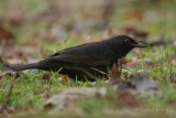 Blackbirds - Turdus merula