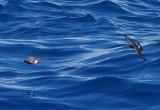 European Storm-petrel (Hydrobates pelagicus)