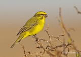 Brimstone Canary or Bully Canary, (Serinus sulphuratus),