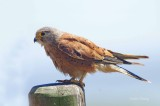 Rock Kestrel - Falco rupicolus
