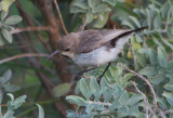 Dusky Sunbird (Cinnyris fuscus)