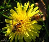 Hover fly and honey bee on dandelion
