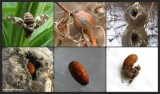Goldenrod gall collage