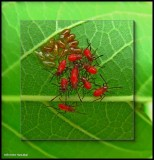 Scentless Plant Bugs (Family: Rhopalidae)
