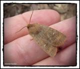 Moth (Eupsilia sp.)