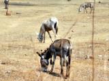 Donkey's 5th Leg...