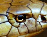 Eye Cobra the King