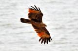 The Fishing Eagle
