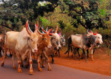 Parade of Sacred Bulls