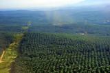 Huge Palm Trees Plantation