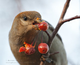 Durbec des sapins (f) /  Pine Grosbeak (f)