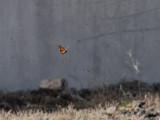 Monark,  Monarch   (Danaus plexippus)