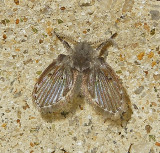 Moth and Sand Flies