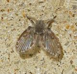 Moth and Sand Flies