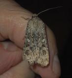 Army Cutworm Moth (10731)