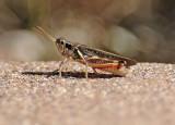 Spur-throated Grasshopper