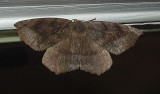 Curved-toothed Geometer Moth (6966)
