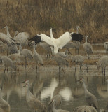 Whooping Cranes and Wheeler National Wildlife Refuge