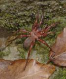 Trapdoor Spiders (Infraorder: Mygalomorphae)